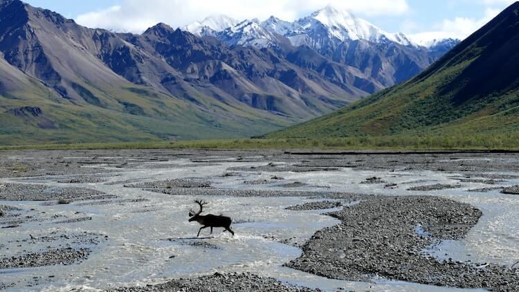 Moose in a river in Denali National Park Honeymoon