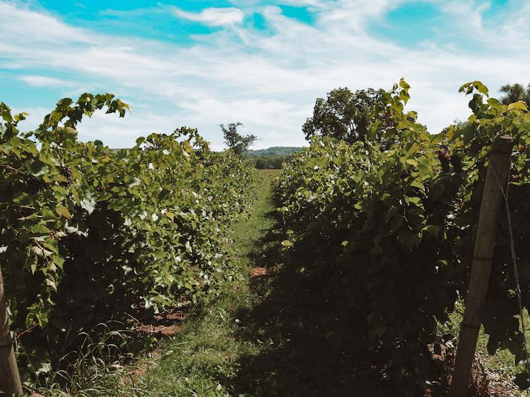 Best Wineries Along Lake Erie Wine Trail   Vines