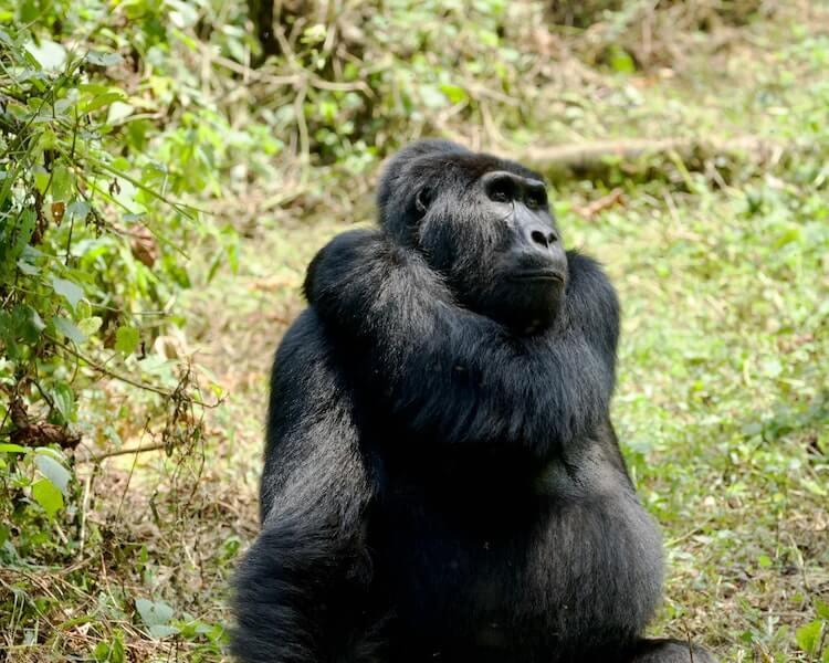 Female gorilla sitting in the grass