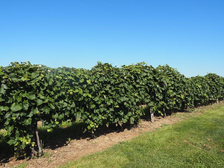 Grapevines in a vineyard   Best Wineries in Lake Chautauqua