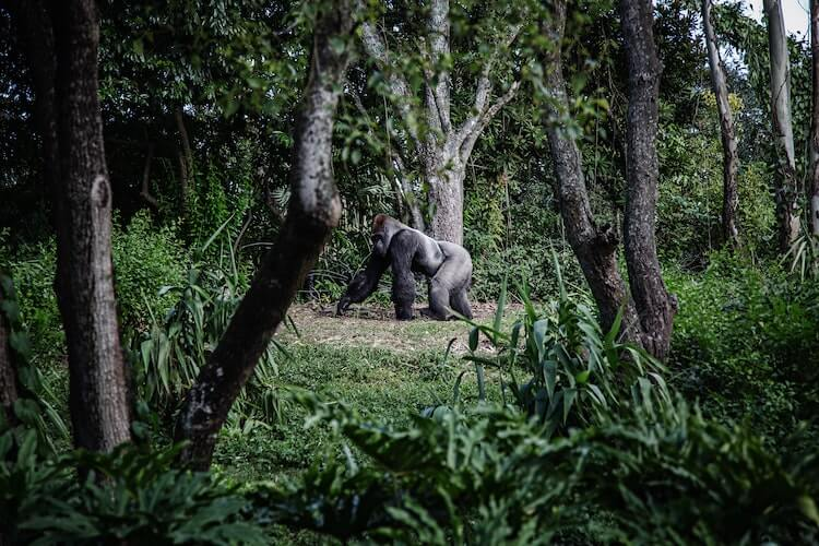 How Much Does an African Safari Cost - male gorilla walking through the jungle