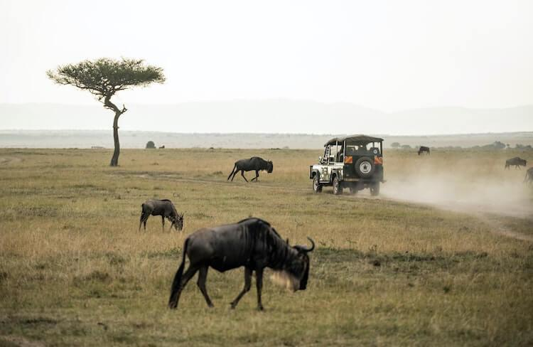 How Much Does an African Safari Cost - wildebeest and a safari vehicle on the savannah