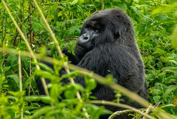 Male gorilla sitting and eating plants