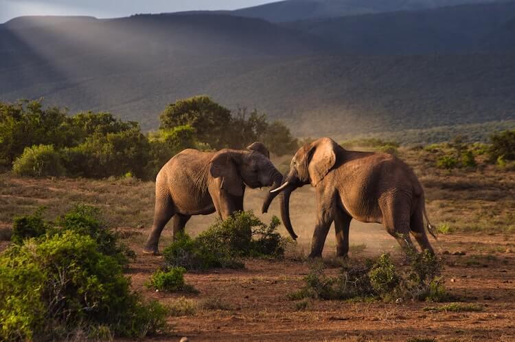 Two elephants fighting