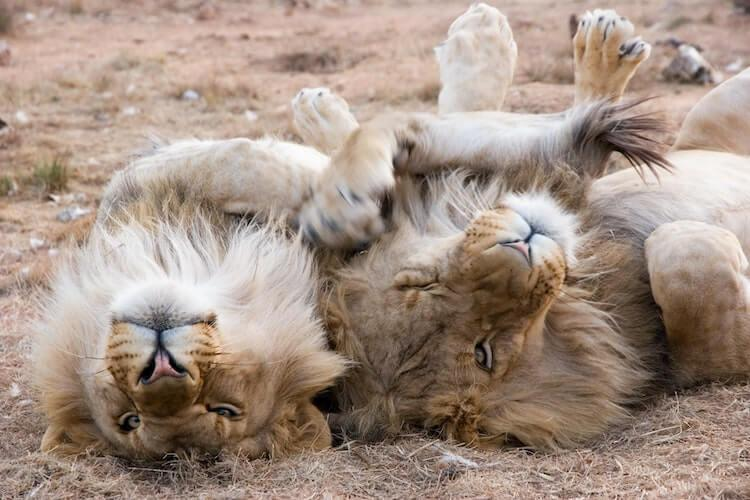 Two male lions on their backs lounging