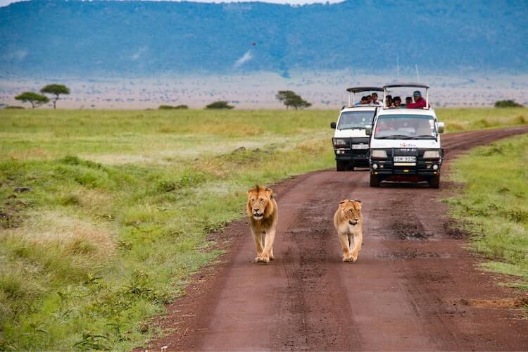 Two safari vehicles following 2 lions on a dirt road