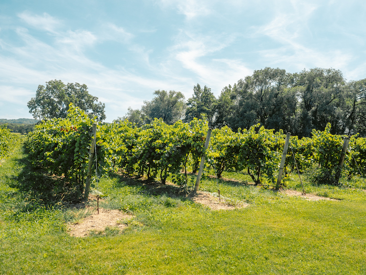 Vines on a sunny day   Lake Erie Wine Trail