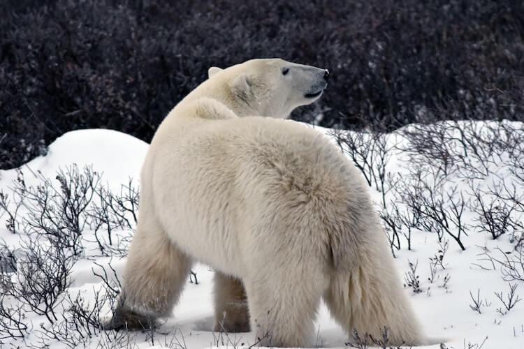 polar bear in Churchill Canada