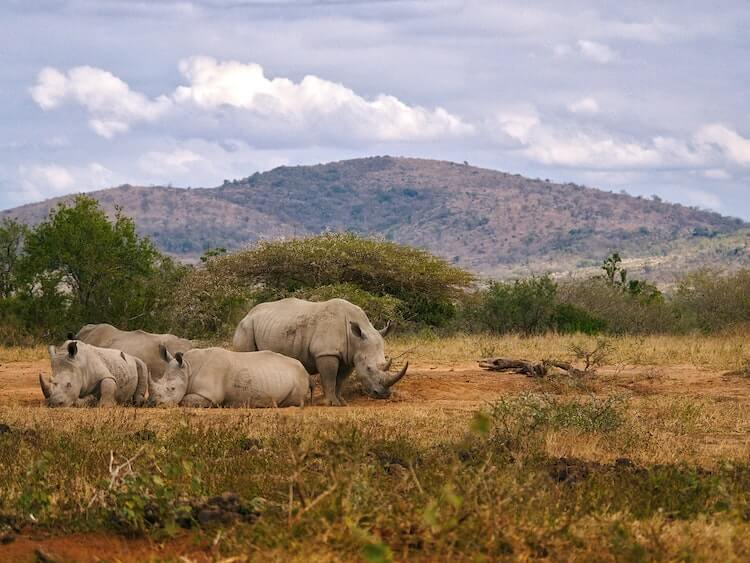 rhinos lounging on the ground with mountains in the background