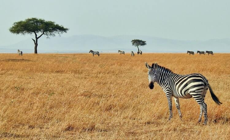 zebras and trees in the African savannah