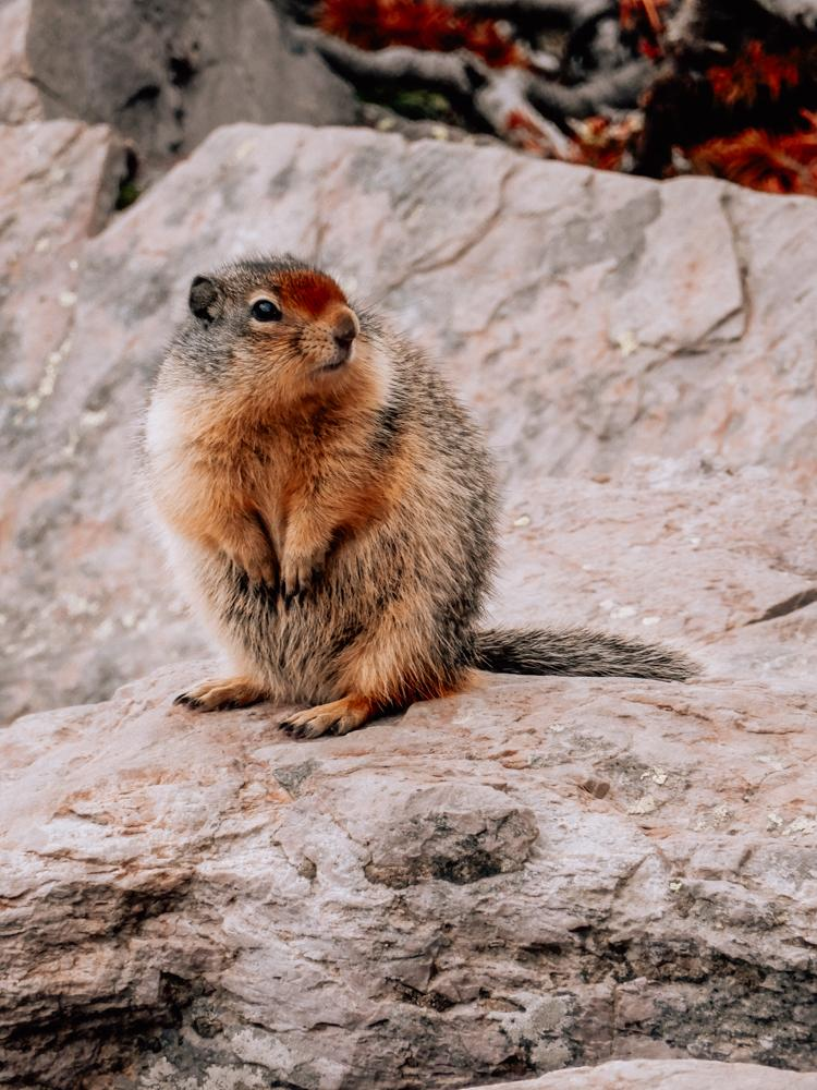 Ground Squirrel on its hind legs and looking right at Glacier National Park