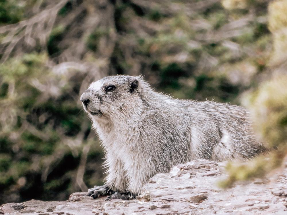 Marmot up close on a rock in Glacier National Park