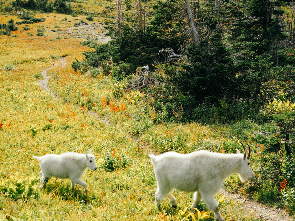 Mom and baby white mountain goats along the Highline Trail