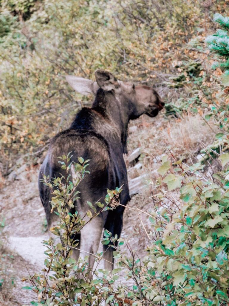 Moose facing away from camera along the Grinnell Glacier Trail